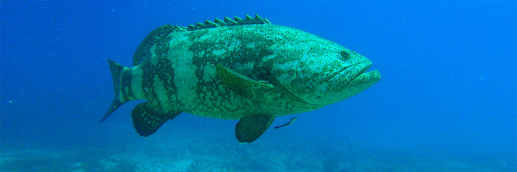 Grouper_head_HighClassHooker