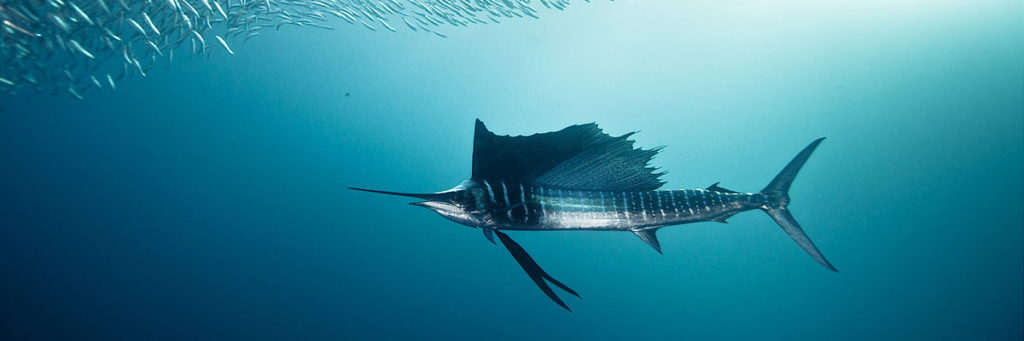 Sailfish_Head-HighClassHooker